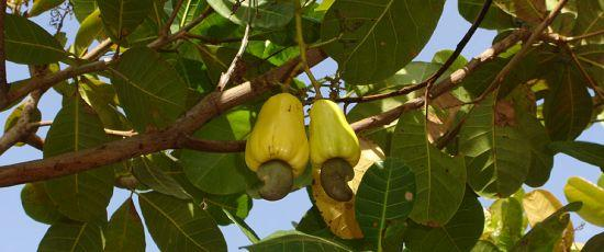 cashew tree with fruit
